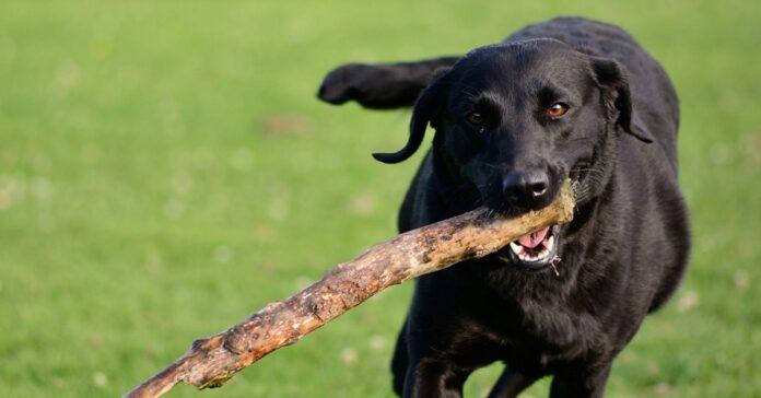 cane riporta bastone