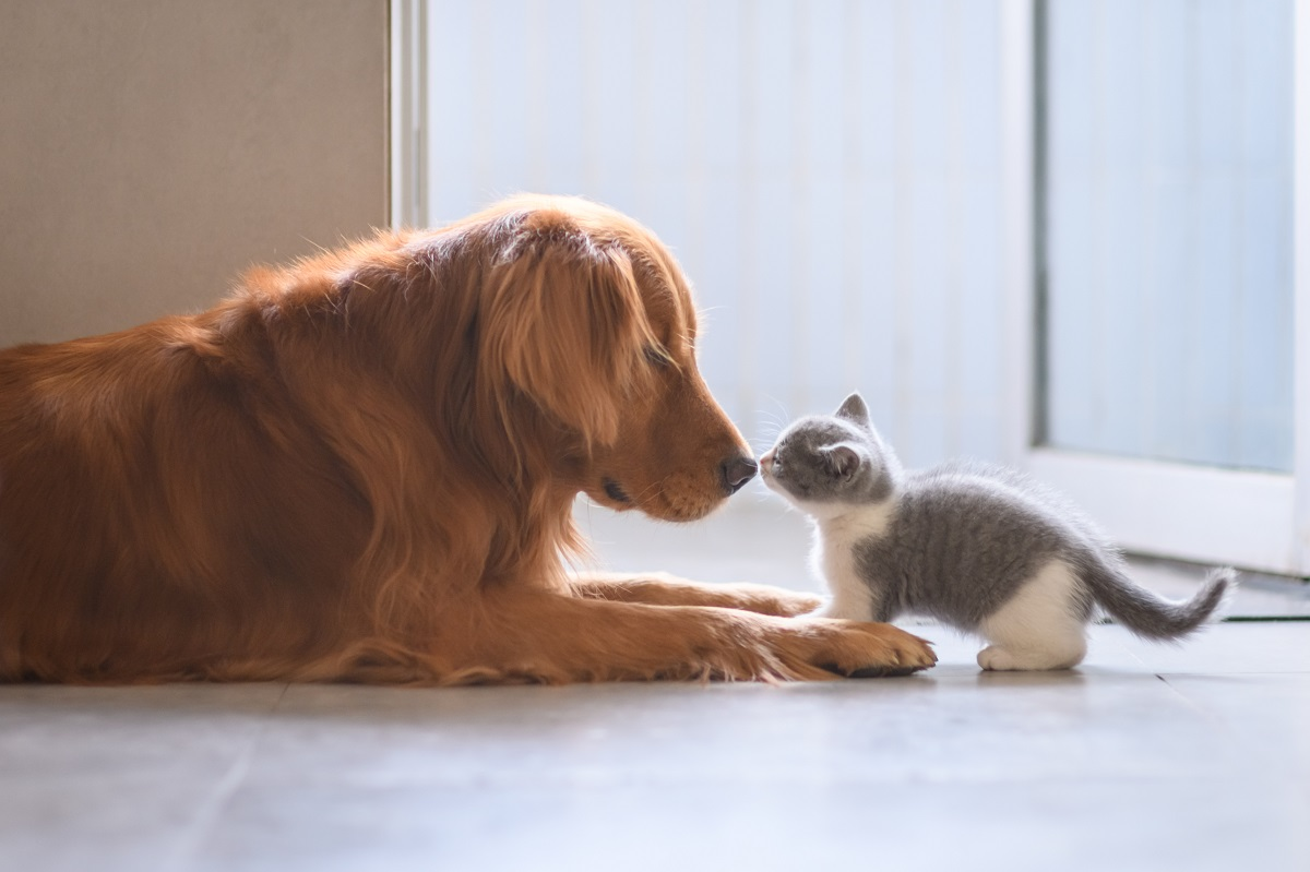 un golden retriever annusa un gattino