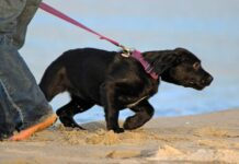 cucciolo di labrador tira il guinzaglio