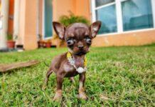 cane più piccolo del mondo
