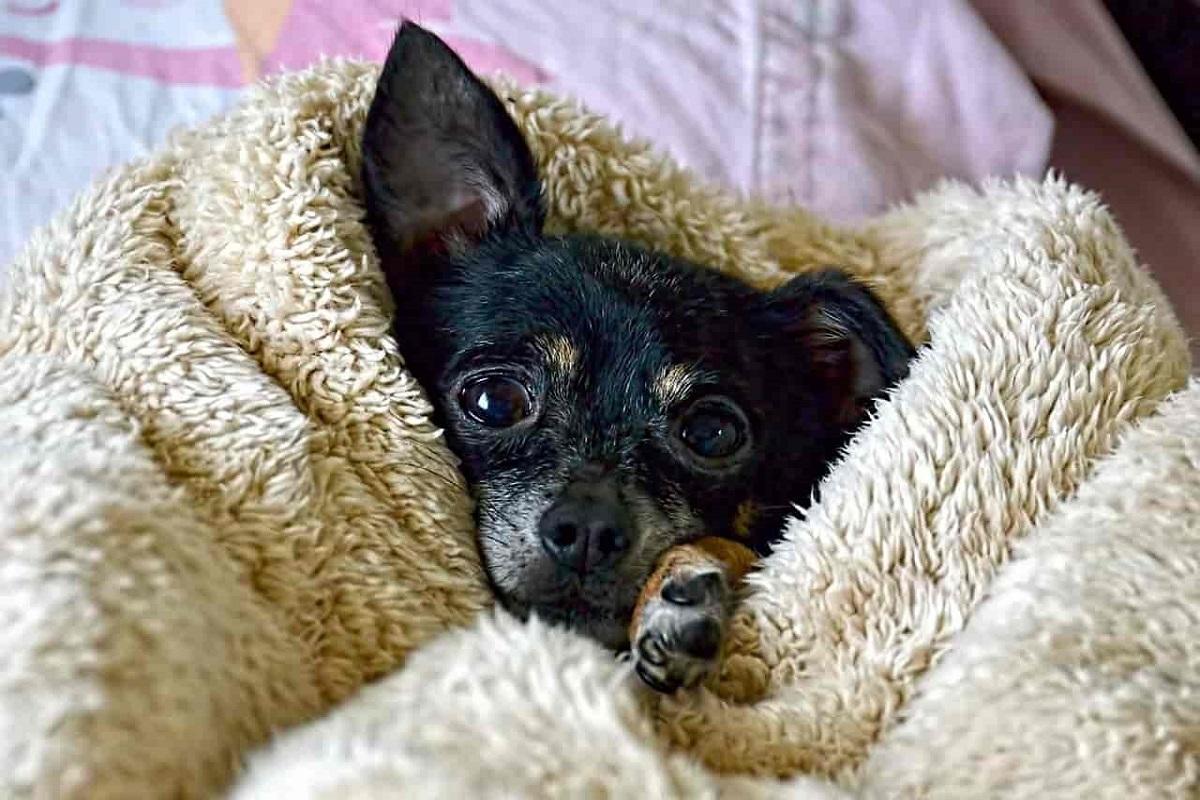 Il cane sente sempre freddo: cause, segnali e rimedi per aiutarlo a stare meglio