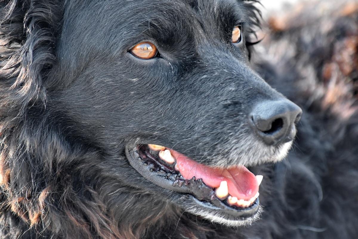 cane nero con gli occhi gialli
