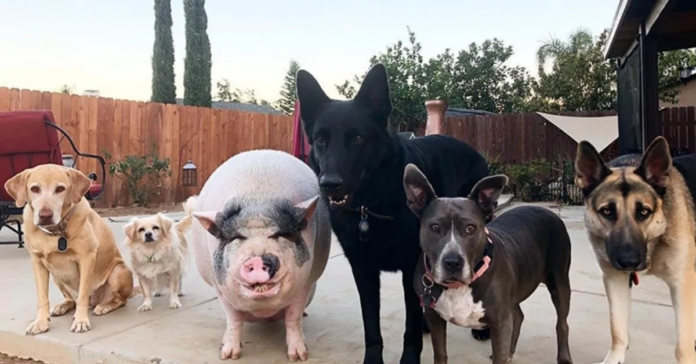 Chowder insieme ai suoi amici cani