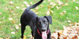 cane nero a pelo corto