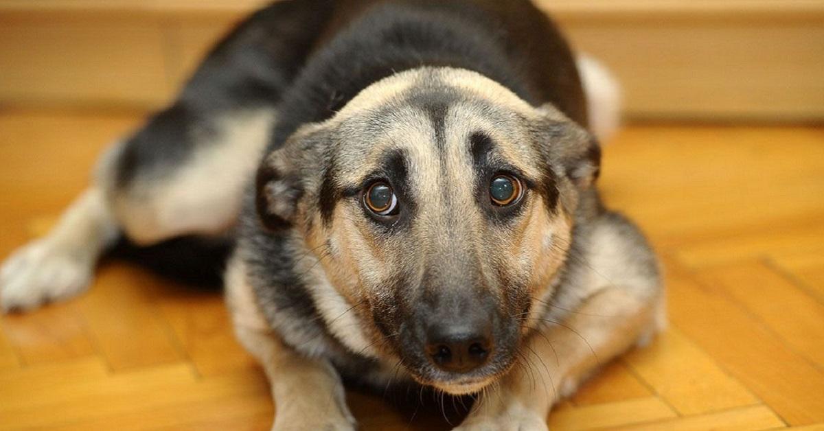 cane con orecchie indietro