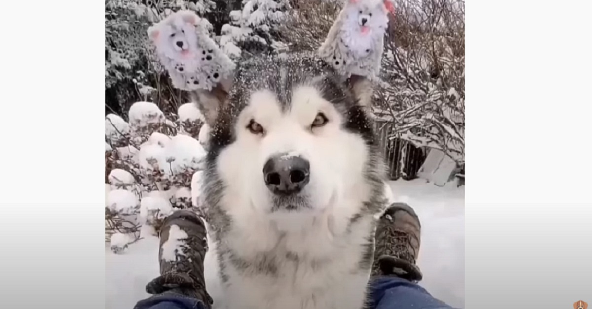 Beau, la cucciola di Alaskan Malamute fa l'ululato più carino del mondo (VIDEO)