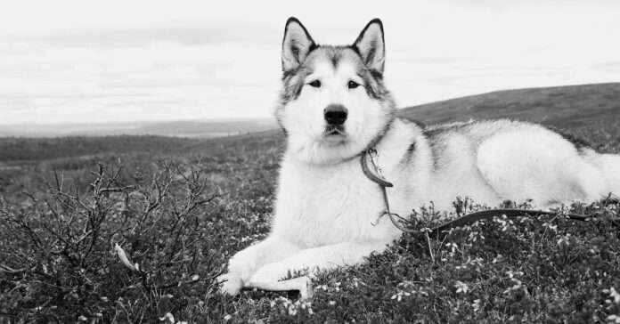cucciola di Alaskan Malamute