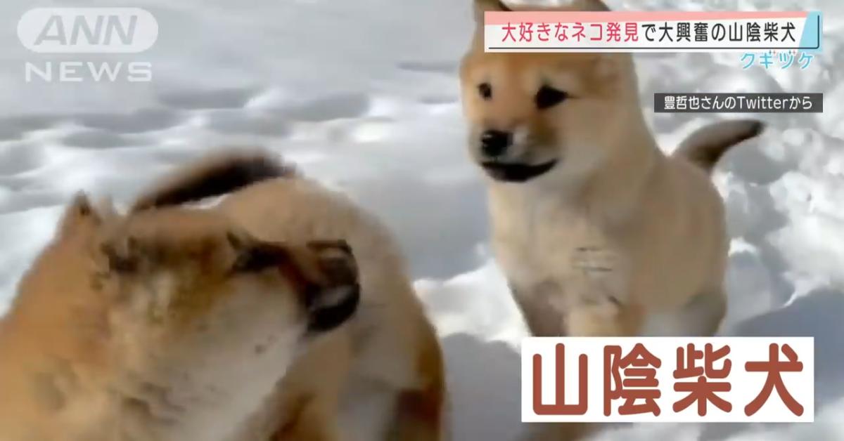 Due cuccioli di Shiba Inu corrono sulla neve e si divertono moltissimo (VIDEO)