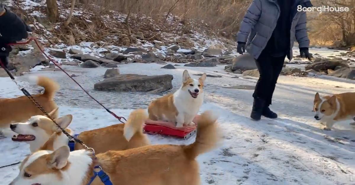 Dei cuccioli di Corgi giocano sulla neve e si divertono moltissimo (VIDEO)