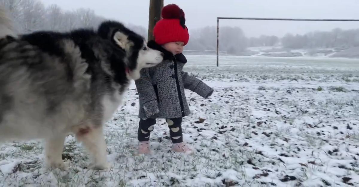 Dei cuccioli di Husky giocano con una bimba sulla neve e si divertono moltissimo (VIDEO)