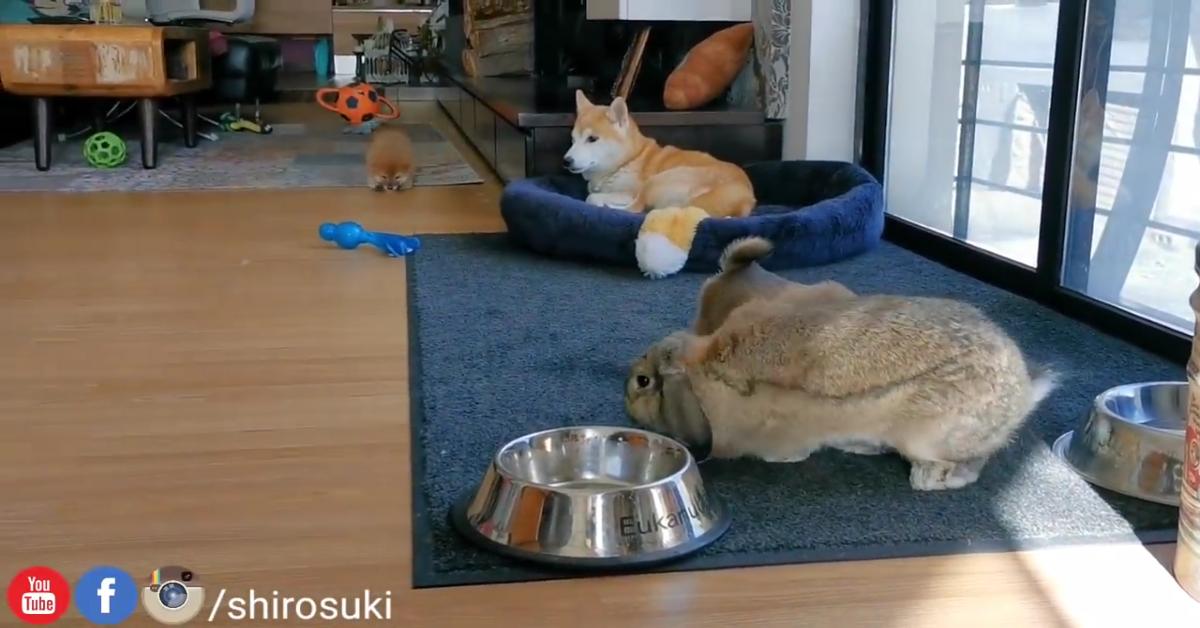Dei cuccioli di Shiba Inu incontrano un coniglio gigante (VIDEO)