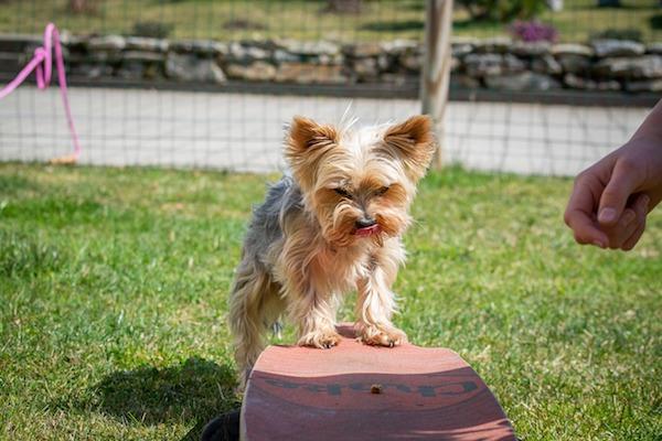 Cuccioli di Yorkshire Terrier, come addestrarli: primi passi e socializzazione