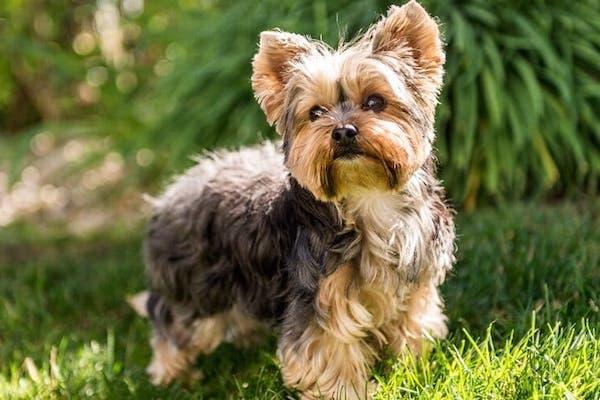 cuccioli di Yorkshire Terrier come addestrarli