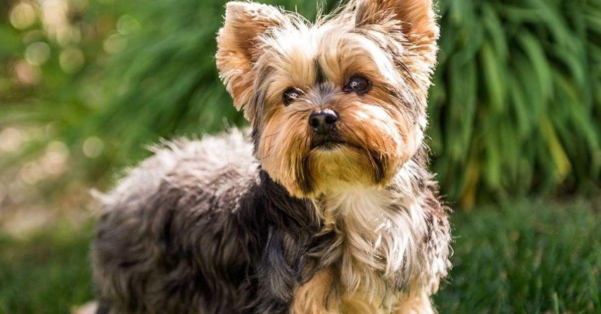 cuccioli di Yorkshire Terrier pelo
