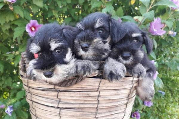 cuccioli di zwergschnauzer che giochi scegliere