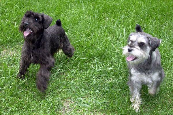 cuccioli di Zwergschnauzer come addestrarli