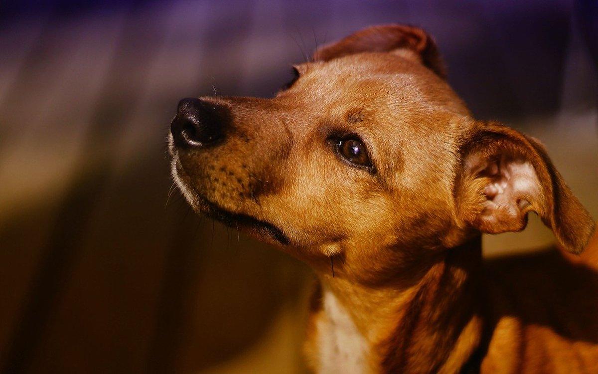 cucciolo di pinscher