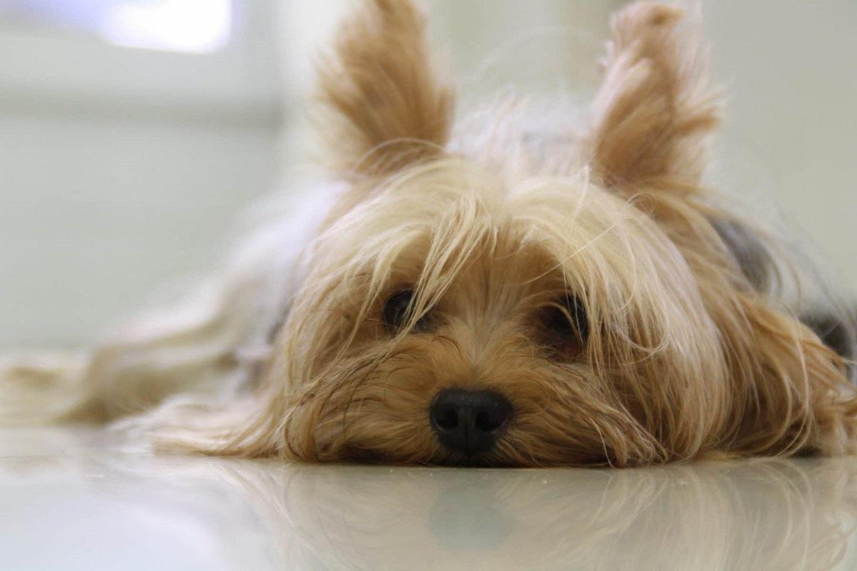 cane col muso sul pavimento