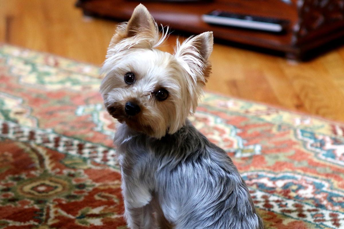 cagnolino sul tappeto