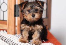cucciolo di yorkshire terrier