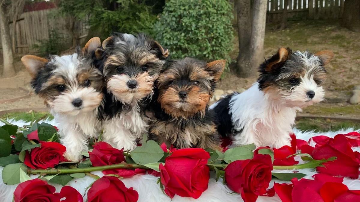 quattro yorkie cuccioli