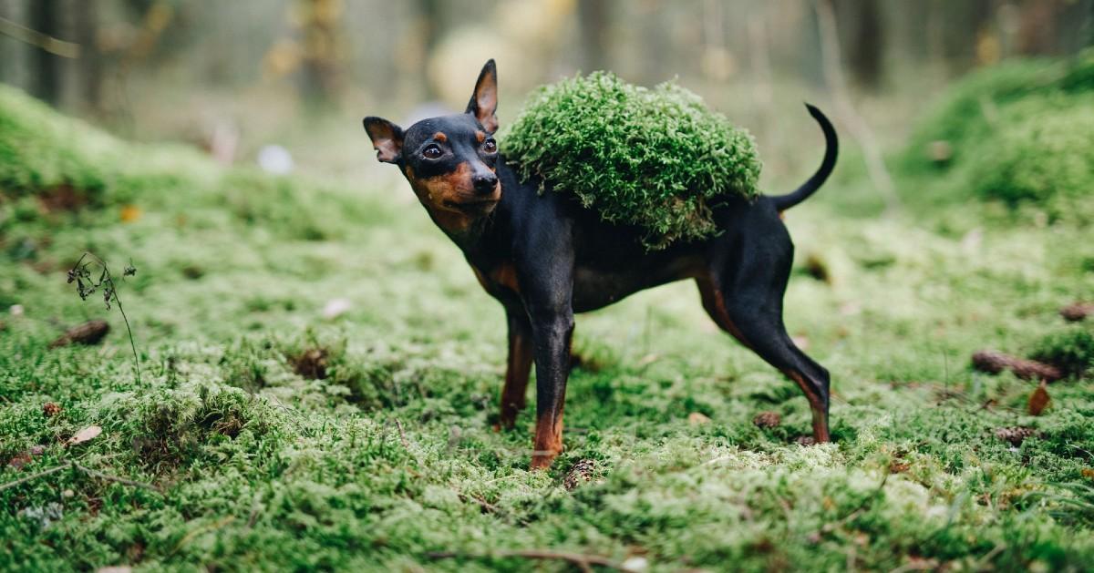 Cuccioli di Zwergpinscher, come sceglierli: tutti i consigli e le dritte più utili