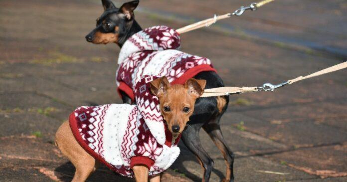 cuccioli di zwergpinscher sceglierli