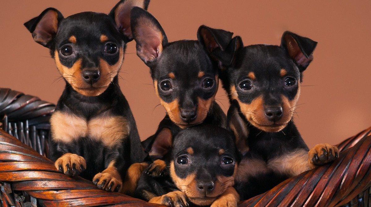 Cuccioli di Zwergpinscher: cure e attenzioni per crescerli forti e in perfetta salute