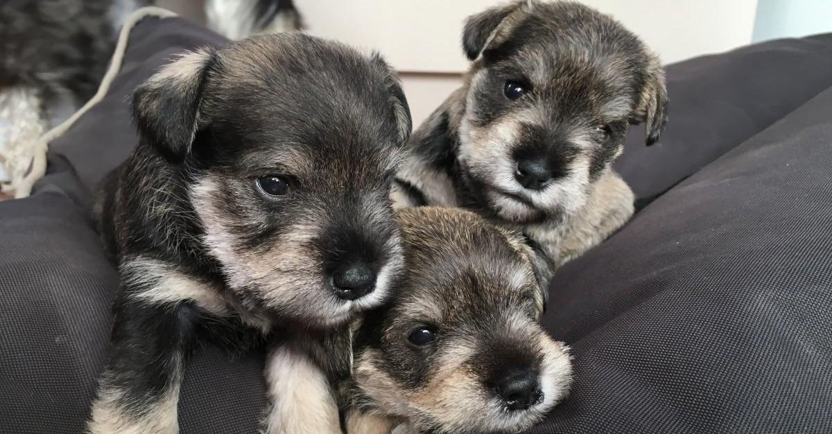 cuccioli di zwergschnauzer come sceglierli