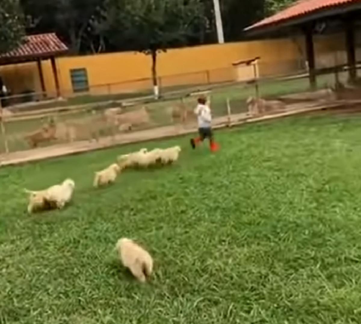 cuccioli golden forza della natura