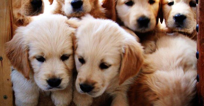 cuccioli golden assaltano amorevolmente bambino video