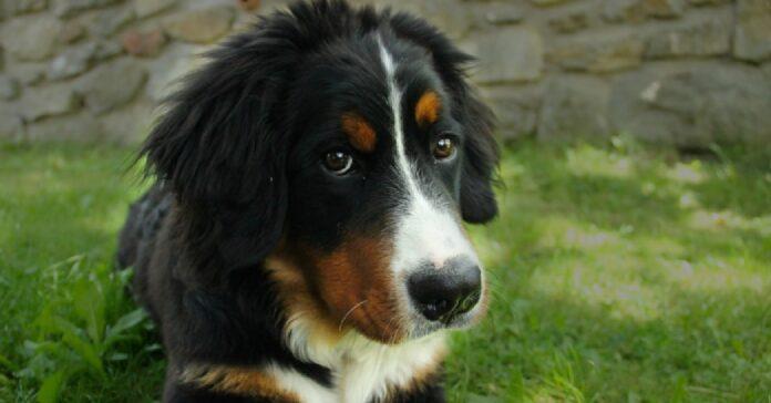 cucciolo bovaro del bernese vuole rimanere sotto coperte video