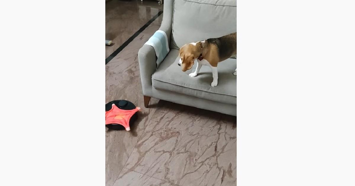 cucciolo di Beagle è spaventato perché il roomba gli rubato il giocattolo