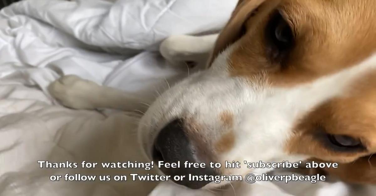Un cucciolo di Beagle non riesce ad aprire gli occhi perché ha sonno (VIDEO)