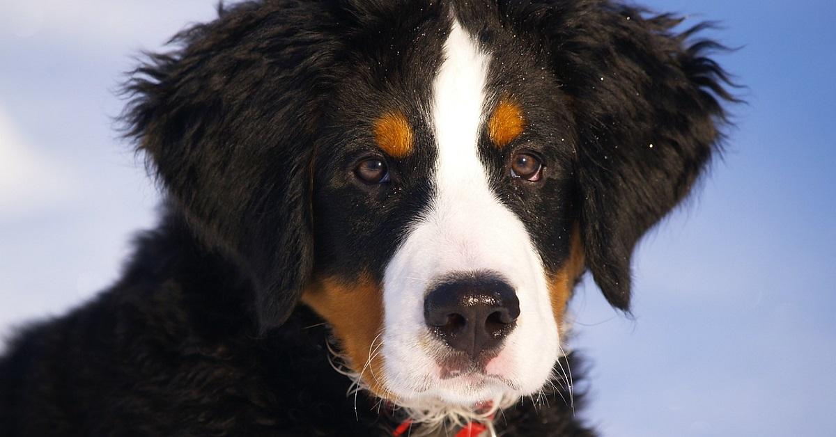 cucciolo di Bovaro del Bernese va nel bosco