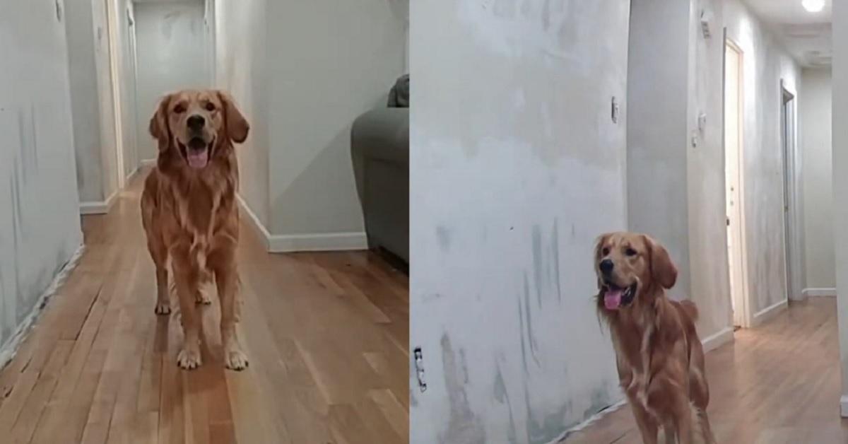 cucciolo di Golden Retriever gioca con il frisbee