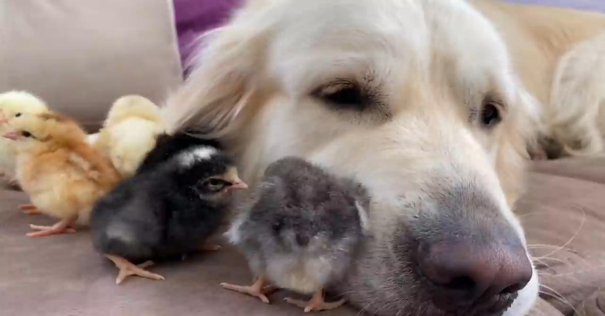 Un cucciolo di Golden Retriever ha cura dei suoi dolci pulcini (VIDEO)
