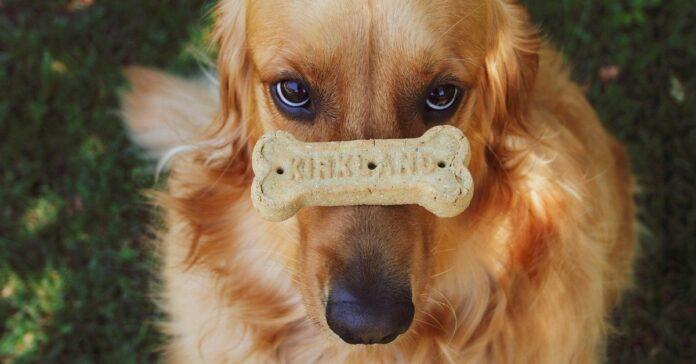 cucciolo di Golden Retriever lecca il fondo di un barattolo