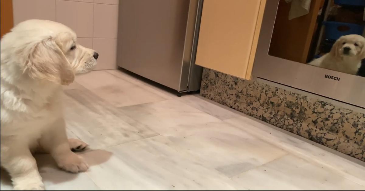 Un cucciolo di Golden Retriever si spaventa del proprio riflesso (VIDEO)
