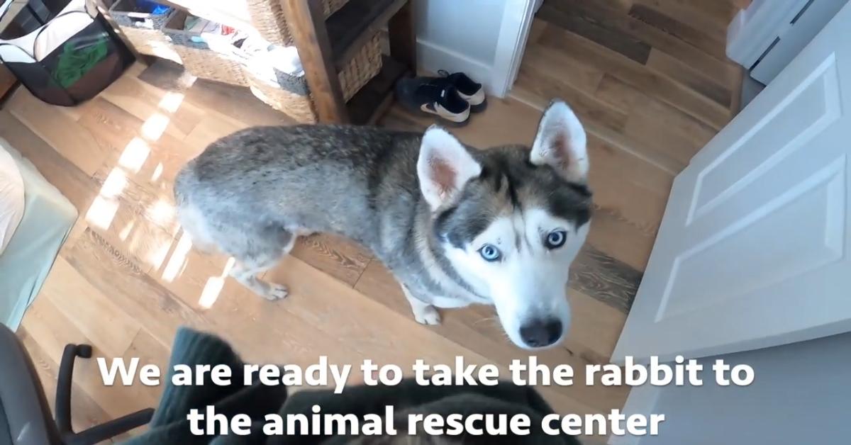 Un cucciolo di Husky incontra un coniglio per la prima volta (VIDEO)