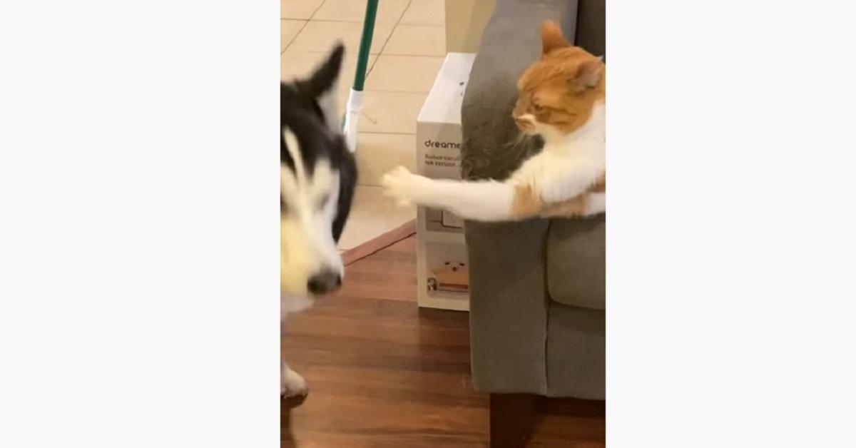 Il cucciolo di Husky non passerà mai da lì perché il gatto non vuole (VIDEO)