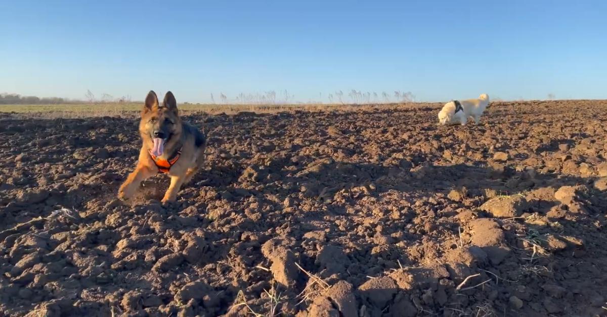 Un cucciolo di Pastore tedesco e cucciolo di Golden Retriever corrono nel bosco (VIDEO)