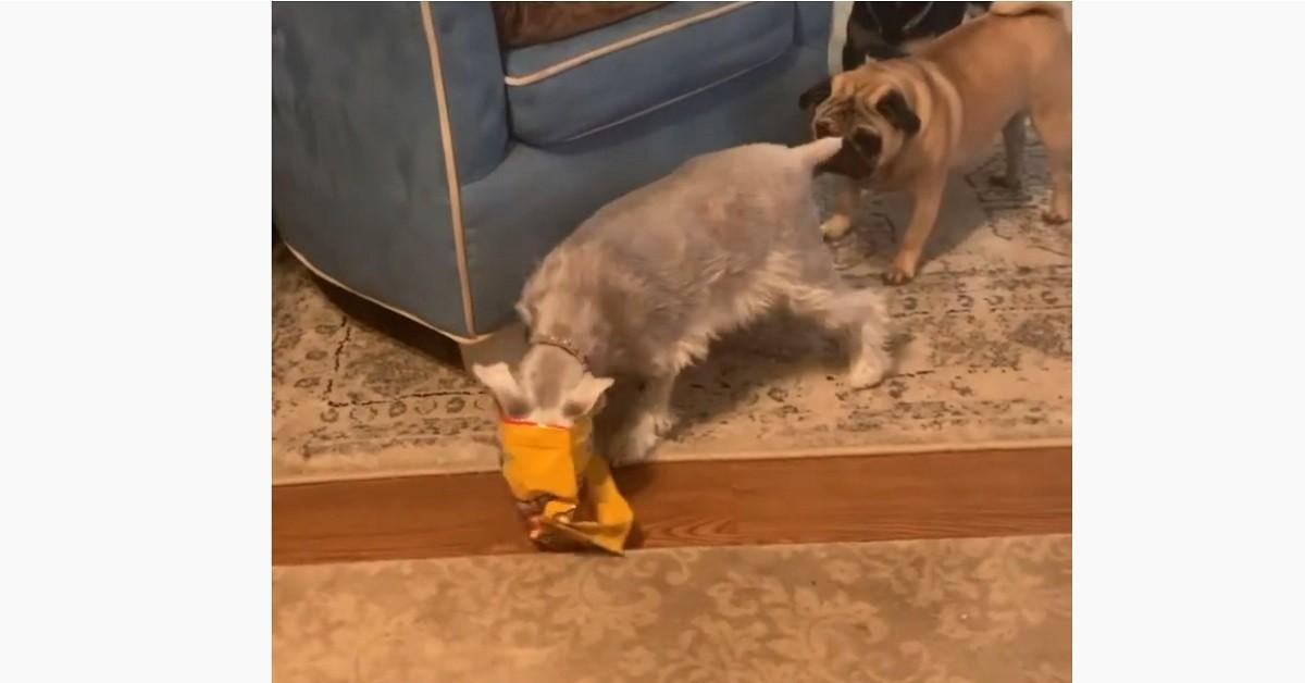 Il cucciolo di Schnauzer goloso conquista un pacco di croccantini (VIDEO)