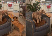 cucciolo di Schnauzer goloso conquista un pacco di croccantini