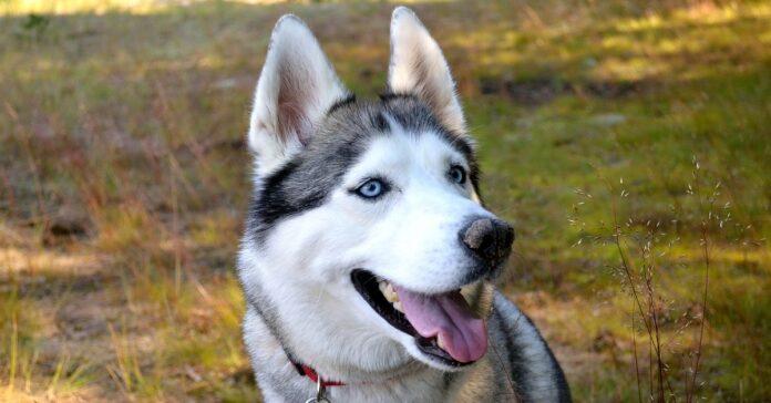 cucciolo di Siberian Husky che non vuole toccato il suo cartone