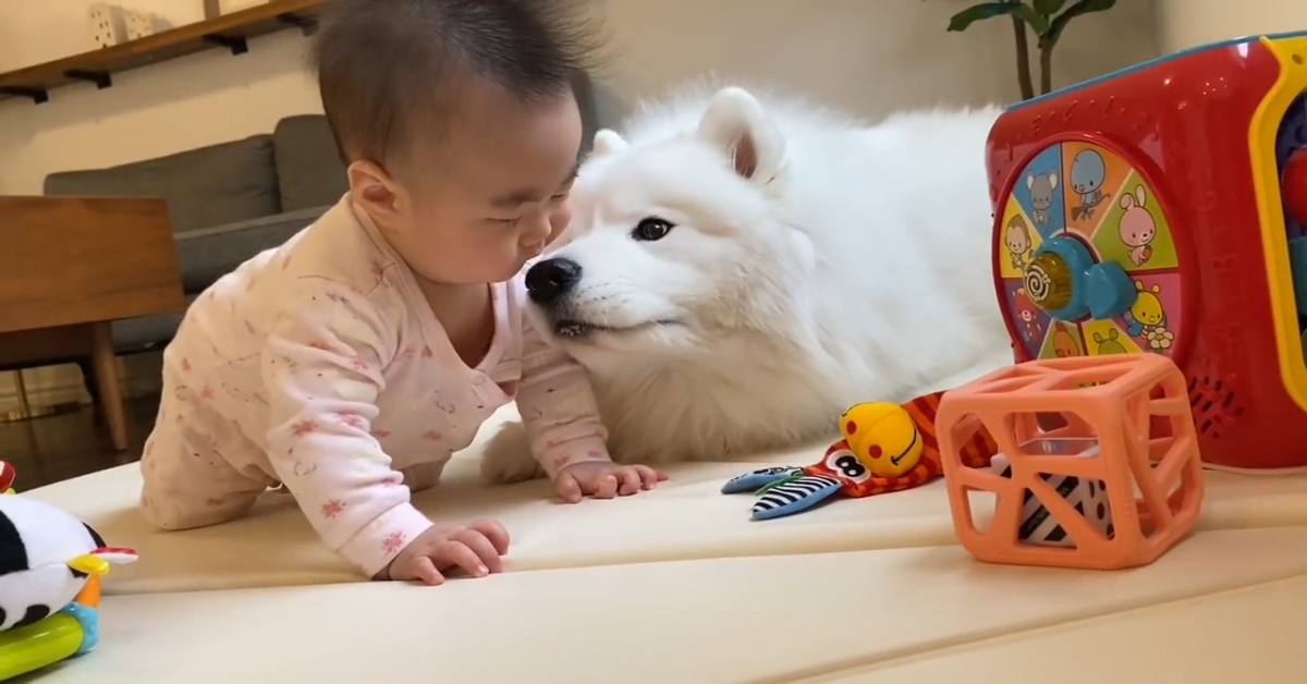 Un cucciolo di Volpino è innamorato del suo fratellino umano (VIDEO)