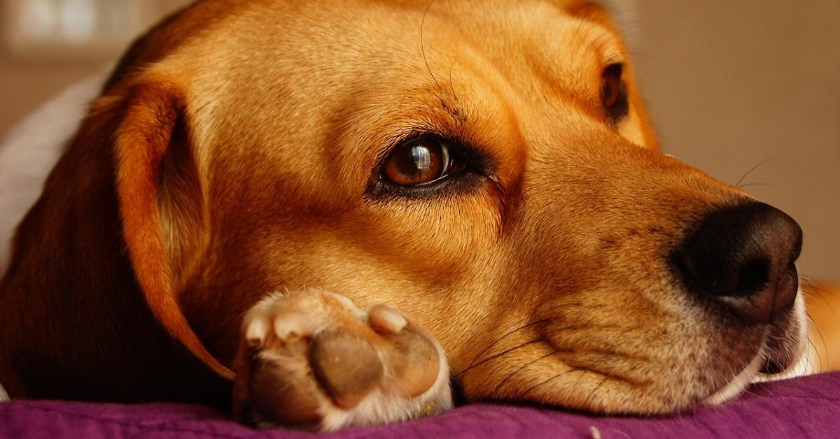 Il cucciolo di beagle usa l'orecchio per non far entrare la luce mentre schiaccia un pisolino (VIDEO)