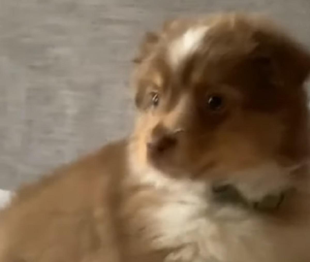 Cucciolo di Border Collie si spaventa guardando la TV, il video è travolgente
