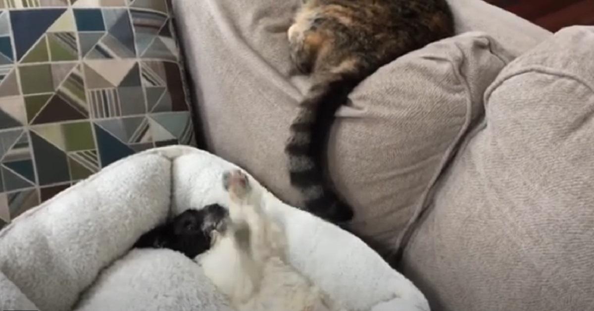 cucciolo di cane gioca con la coda del gatto
