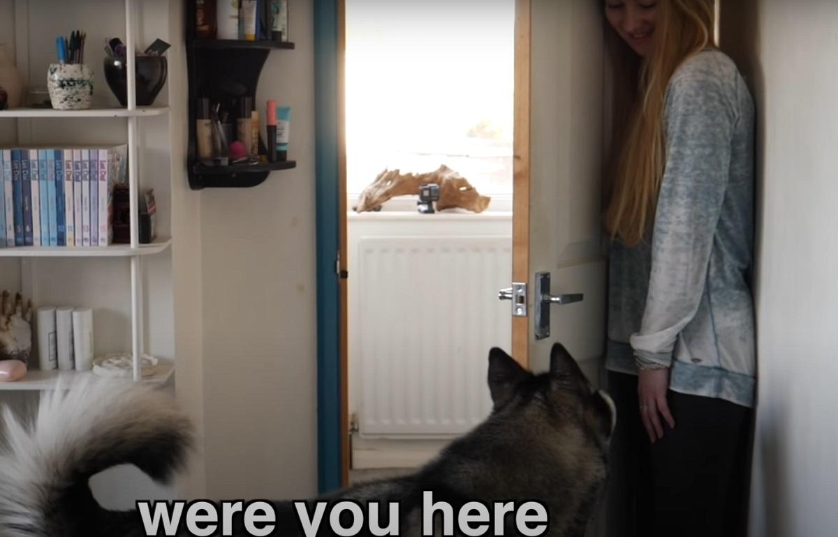 Cucciolo di Husky gioca a nascondino con la proprietaria, tutta l'imperdibile sfida in video